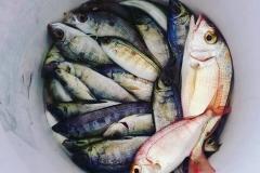 Antalya Balık Avı Turu - Barbun, mercan, izmarit, kuppes, kolyoz, sardalya, torik, benekli orkinos, palamut, lambuka...