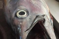 Benekli Orkinos, Kuzu, Sinarit vb. büyük balık avlarımız...